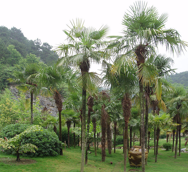 654px-TrachycarpusFortunei